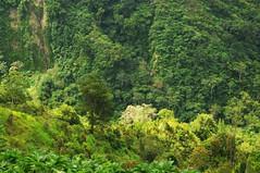 Blick in die Urwald-Schlucht zwischen uerer und innerer Caldera; Batur, Bali (2) (Chironius) Tags: trees bali tree indonesia volcano rboles boom arbres rbol vulcan volcanoes grn gunung albero bume arbre rvore baum trd indonesien batur volcan vulkan volcn  aa