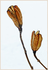 WINTER GARDEN SERIES...Lily Pod (strandviewphotos) Tags: winter gardens lily lilies seedpods