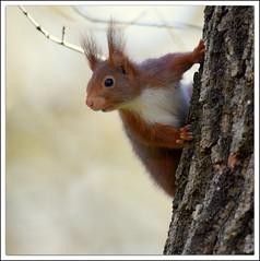 salut vous !!! (guiguid45) Tags: nature nikon squirrel animaux écureuil sauvage loiret mammifères 500mmf4 d810
