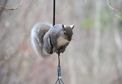 Squirrel Gymnastics (Sarah Hina) Tags: squirrel birdfeeder gymnastics acrobatics