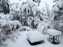 Bent Under With Snow