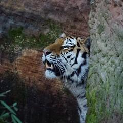 """Tg Nbg           Tiger """"im"""" Stein           151228 (Eddy L.) Tags: tiger nuremberg siberiantiger katinka pantheratigrisaltaica amurtiger sibirischertiger tiergartennrnberg tigredesibrie ussuritiger sonyphotographing minoltaafreflex500 tiergartenfreundenrnbergev siberiantijger"""