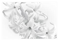 Hyazinthe HK (M. Franziska D.) Tags: blumen highkey makro blten hyazinthe