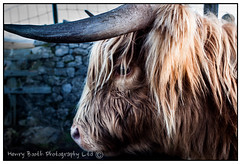Highland cow (Henry Booth Photography) Tags: animals canon cow moody 28mm highland calf fury malham