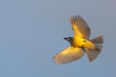 Couch's Kingbird (Greg Lavaty Photography) Tags: bird nature december texas wildlife flight valley prey riogrande flycatcher couchskingbird