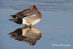 Euro Wigeon on ice (James Lees Photography) Tags: winter ice nature birds duck wildlife ducks gloucestershire wetlands drake britishwildlife waterbirds slimbridge wildfowl wigeon wildfowlwetlandtrust