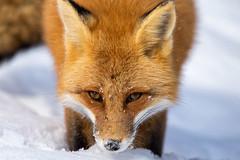 Young vixen (JD~PHOTOGRAPHY) Tags: nature animal mammal wildlife fox wildanimal vixen redfox femalefox