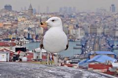(yonca60) Tags: city roof macro tower closeup turkey landscape scenery cityscape view seagull tomb istanbul galatabridge eminonu galatatower buyukvalidehan