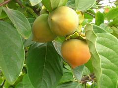 starr-060916-8872-Diospyros_kaki-fruit-Kula-Maui (Starr Environmental) Tags: diospyroskaki
