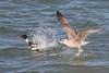 (Explore) Fight (Ron Winkler nature) Tags: redbreasted merganser zaagbek mergusserrator gull meeuw bird birding netherlands nederland europe vogel birdwatching canon explore explored
