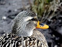 Watchful duck. (EcoSnake) Tags: birds wildlife watching january ducks waterfowl mallards naturecenter idahofishandgame