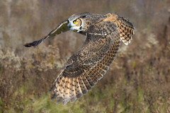 Great horned owl (Phiddy1) Tags: ontario canada birds owl greathornedowl crc