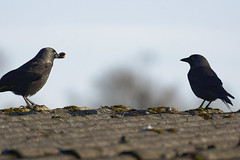Kabbelei - 2016-005_Web (berni.radke) Tags: row fighting raven rabe squabble quarrel bicker wrangle kabbelei
