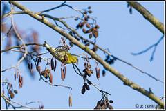 _DSC0124_Tarin des Aulnes (patounet53) Tags: bird oiseau eurasiansiskin carduelisspinus tarindesaulnes fringillids passriformes