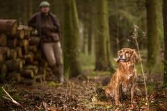 Field spaniel (m-n-g photography) Tags: dog field woodland gold working spaniel