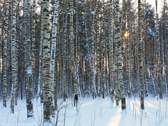 Through the wood (grce) Tags: wood trees winter light shadow sun sunlight snow tree nature forest landscape frozen frost shadows outdoor samsung birch birchwood birches wildnature shadowsonsnow