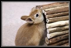 (mensore) Tags: brown rabbit bunny san ichigo netherlanddwarf