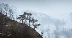 3 Pines (Roksoff) Tags: trees winter snow cold ice hail pine scotland log wind bennevis fortwilliam lochaber scottishhighlands glennevis scotspine leefilters rivernevis nikond810 1635mmf4 steallgorge