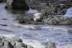 KaienaPoint012216-6891 (lsjacobs) Tags: kaena monkseal