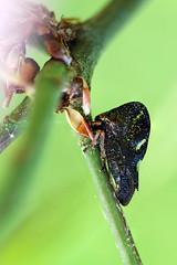 Treehopper (Smilia camelus) Dark Phase (Goshzilla - Dann) Tags: bugs treehoppers