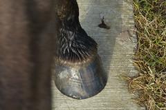 De Stille Kern_Horsterwold_Zeewolde_konikpaard_7 (Edwin Pijpers) Tags: natuur horsterwold landschap zeewolde konikpaarden destillekern