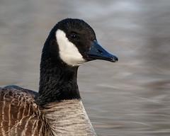 Canada Goose Portrait (Bill'sLIPhotos) Tags: ny newyork canada bird nature canon eos li wildlife goose longisland february waterfowl preserve canadagoose brantacanadensis avian massapequa 2016 70d ef100400l massapequapreserve
