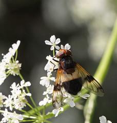 Volucella pellucens (6) (saracenovero) Tags: flies syrphidae diptera 2015 volucellapellucens mazeikiai fliesoflithuania