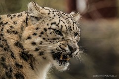 Snow Leopard (siramman64) Tags: winter wild brown fur wildlife leopard bigcat snarl