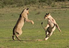 Lion Fight (jaffles) Tags: park holiday nature beautiful southafrica outdoor wildlife natur lion olympus safari explore predator ktp südafrika löwe transfrontier kgalagadi inexplore