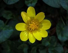 Ranunculus acris -Ranuncolo di prato (vincenzolerro) Tags: smrgsbord sonyt77vaqrie
