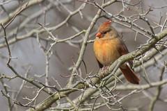 Cardinal -4267 (RG Rutkay) Tags: bird nature animal cardinal thicket lyndeshoresconservationarea