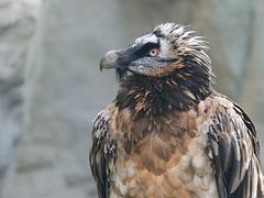 Bartgeier - Bearded Vulture (Markus Machner) Tags: vulture zoofrankfurt bartgeier
