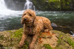 Bijou (Tri Minh) Tags: dog bijou poodle miniaturepoodle redpoodle