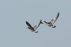 Silverwings (martytdx) Tags: winter philadelphia birds lifelist flight goose pa waterfowl barnaclegoose brantaleucopsis branta anatidae fdrpark