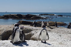 Penguins, Peninsula Excursion, Cape Town, South Africa (ARNAUD_Z_VOYAGE) Tags: africa street city mountain building art beach nature architecture table landscape town state action south country capital cap le cape region moutain department metropolitan municipality