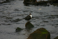 Dipper (RobK5) Tags: bird waterbird widlife dipper britishbird ukbird