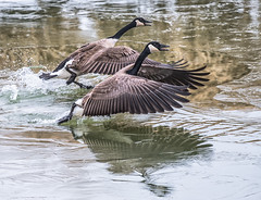 Canada Geese (Jan Crites) Tags: winter bird nature outdoors geese nikon wildlife iowa canadageese avian lilylake d610 amanacolonies jancritesphotography nikon200500mm