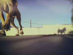 Evil Shadow Dog (hbmike2000) Tags: shadow sky dog pet sunlight moon motion apple animal wall fence outside action earlymorning running run paws iphone odc lowpov carolinadog americandingo hbmike2000 dogchal iphone6splus earlybirdornightowl