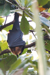 KV4A1028 Indian Flying Fox - Pteropus giganteus - Alappuzha - Kerala - Indien - Our Land (Thanks for visit Soes' photo from the lovely natur) Tags: india animals kerala indien bats dyr flagermus solveigsterschrder indianflyingfoxpteropusgiganteus