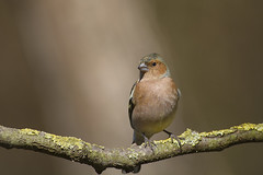 Fringilla coelebs  fringuello  chaffinch (maura.chiaberto) Tags: birdwatching fringillacoelebs chaffinch fringuello