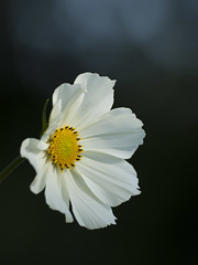 La puret du style -* (Titole) Tags: white flower bokeh cosmos shallowdof explored thechallengefactory titole nicolefaton