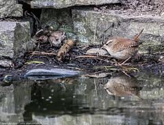 9Q6A9220 (2) (Alinbidford) Tags: robin squirrel goldfinch wren goldcrest greysquirrel siskin longtailedtit muntjac redleggedpartridge coaltit hillers alancurtis alinbidford hillershide