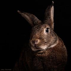 Chiaroscuro Bunny (Jeric Santiago) Tags: pet rabbit bunny animal conejo chiaroscuro lapin hase kaninchen petportrait うさぎ 兎 winterrabbit