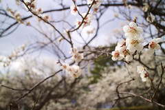 Japanese apricot 20160320 (hatake_s) Tags: flower nature japan sendai ume tohoku japaneseapricot