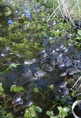 Common Frogs (Rana temporaria) 1 of 4 images (willjatkins) Tags: frog frogs urbanwildlife rana britishwildlife gardenwildlife ranatemporaria commonfrog gardenponds britishamphibians hertfordshirewildlife britishreptilesandamphibians ukamphibiansandreptiles ukreptilesandamphibians ukamphibians britishamphibiansandreptiles hertfordshireamphibians
