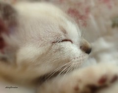 Moa, my sweet baby... (Deisi Ferreira) Tags: pet cat nap kitty gato sono babycat gatinha soninho animaldeestimao filhotedegato napcat gatinhabranca soninhodofilhote