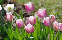 Ollioules Darwin Hybrid tulips (Niki Gunn) Tags: flowers flower macro pentax tulip april tamron 90mm k5 tamron90mm 2016 tamron90mmf28 tamron90mmmacro tamronspaf90mmf28 darwinhybridtulip darwintulip olloules