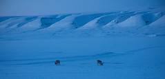 Svalbard Reindeer (Morris Hersko) Tags: blue reindeer twilight svalbard arctic snowmobile northpole snowmobiling rangifertarandusplatyrhynchus bettermomentsas