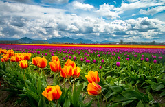 Tulip season( Happy Weekend) ( (T.ye) Tags: flowers red orange cloud plant flower field season landscape washington state outdoor flowerbed tulip skagit todd colourful ye     deepofthefield
