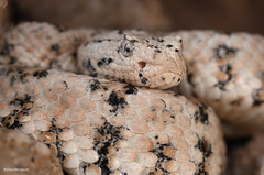 Speckled Rattlesnake #4 (DevinBergquist) Tags: arizona nature wildlife az rattlesnake crotalus fieldherping herping speckledrattlesnake crotalusmitchellii crotaluspyrrhus